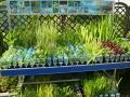 prekyba-dekoratyviniais-augalais-kaune-380